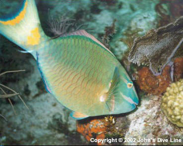 Stoplight Parrot Fish